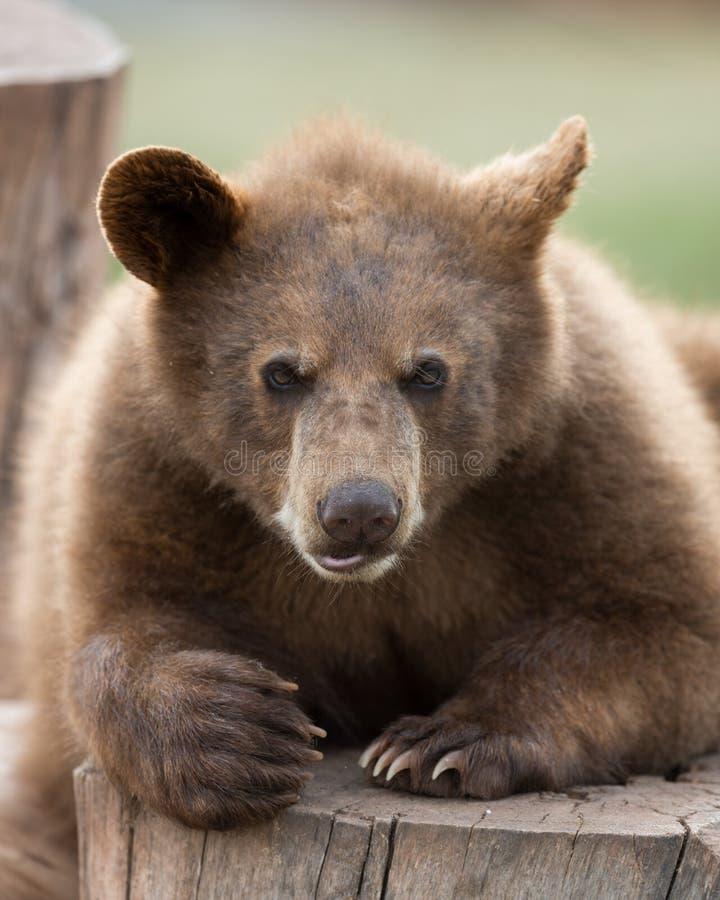Schwarzes Bärenjunges lizenzfreies stockfoto