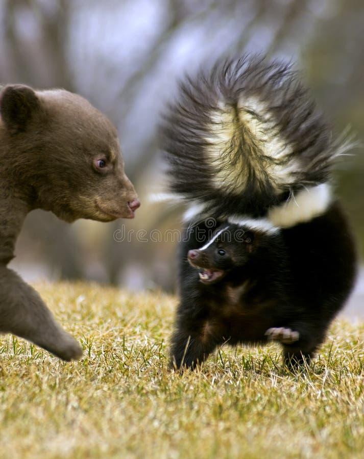 Schwarzes Bärenjunges bedroht gestreiftes Stinktier - Bewegungszittern