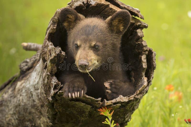 Schwarzes Bärenjunges in einem hohlen Klotz lizenzfreie stockfotos