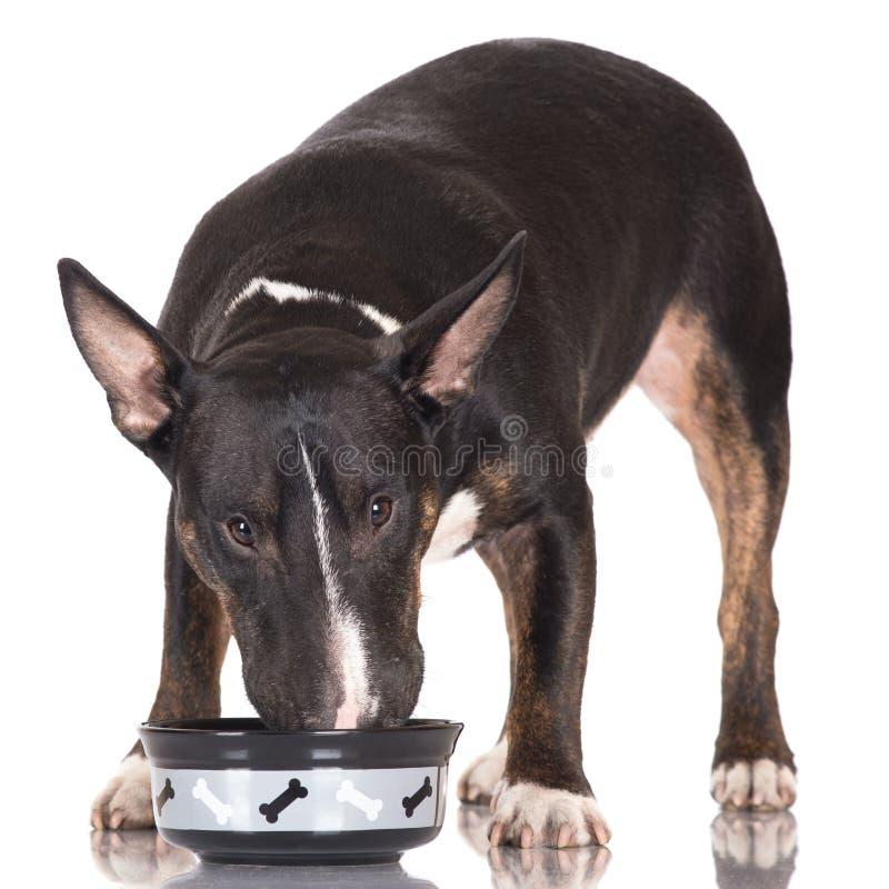 Schwarzes Bullterrierhundeessen lizenzfreies stockbild