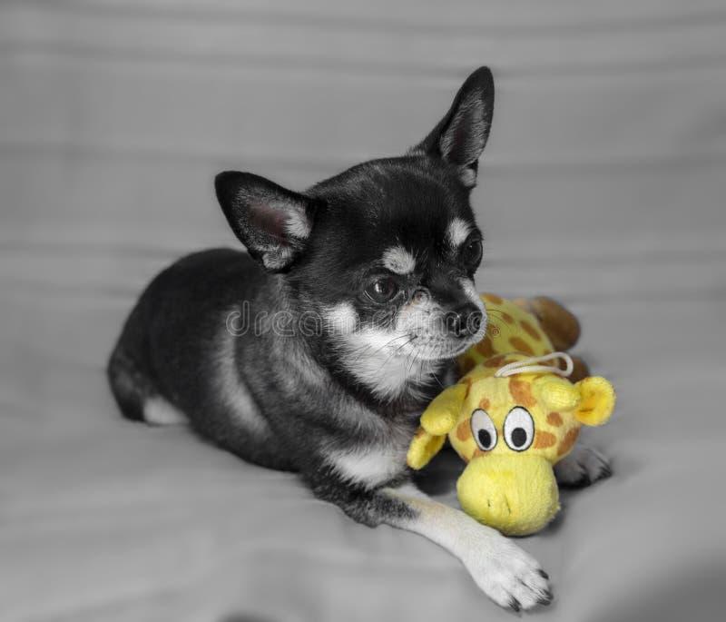 Schwarzes Chihuahuaporträt stockfotografie
