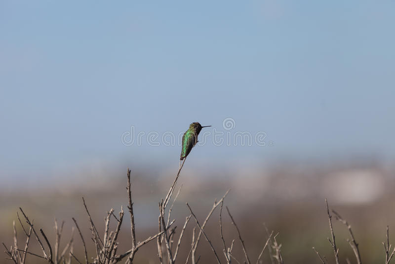 Schwarzes chinned Kolibri stockbilder