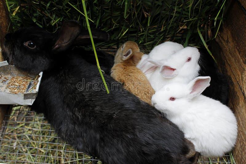 Schwarzes Damhirschkuh-Kaninchen mit buntem kleinem Kaninchen stockfoto