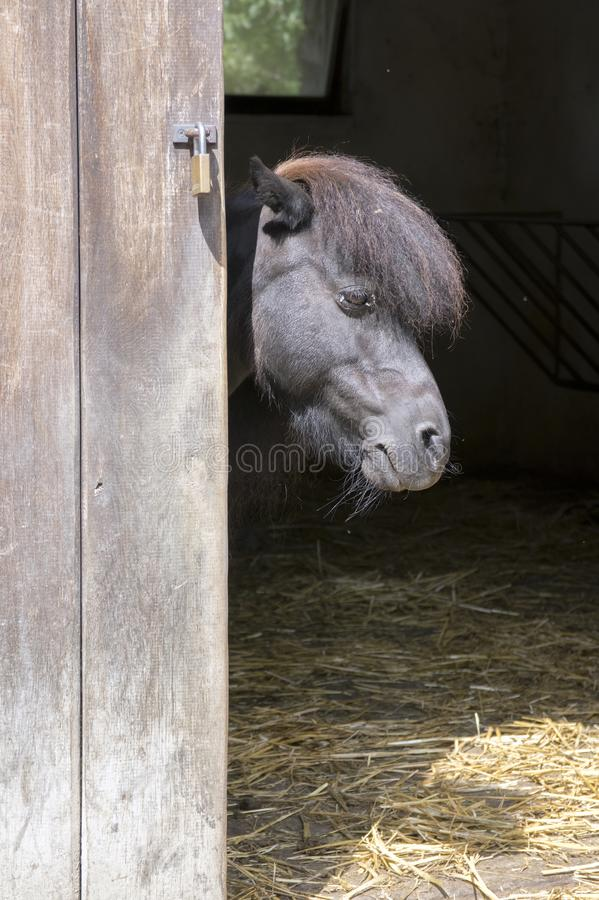 Schwarzes die Shetlandinseln-Pony versteckt im Pferd-stablle lizenzfreies stockbild