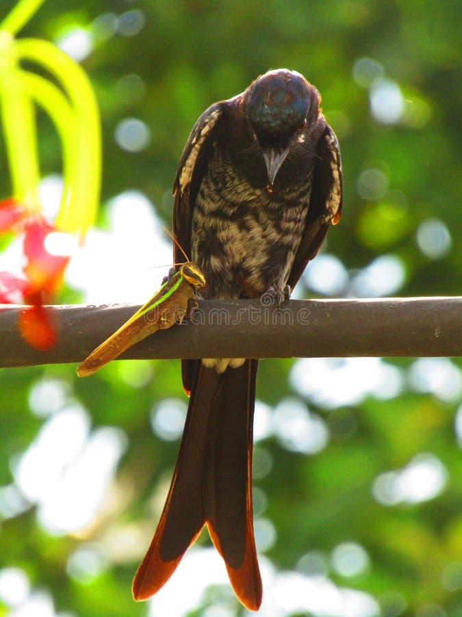 Schwarzes Drongo Dicrurus-macrocercus ist ein kleiner asiatischer passerine Vogel der Drongofamilie Dicruridae lizenzfreie stockfotografie
