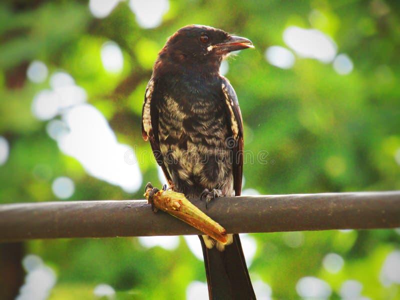 Schwarzes Drongo Dicrurus-macrocercus ist ein kleiner asiatischer passerine Vogel der Drongofamilie Dicruridae lizenzfreie stockfotos