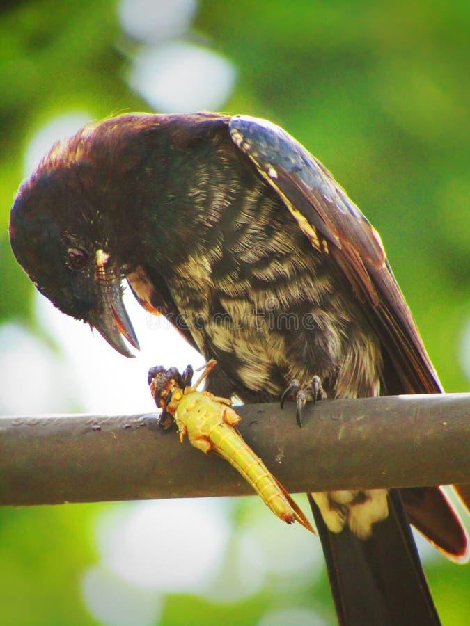 Schwarzes Drongo Dicrurus-macrocercus ist ein kleiner asiatischer passerine Vogel der Drongofamilie Dicruridae stockfotos