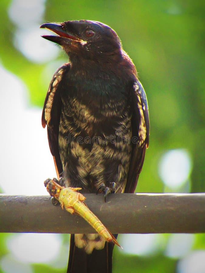 Schwarzes Drongo Dicrurus-macrocercus ist ein kleiner asiatischer passerine Vogel der Drongofamilie Dicruridae lizenzfreie stockbilder