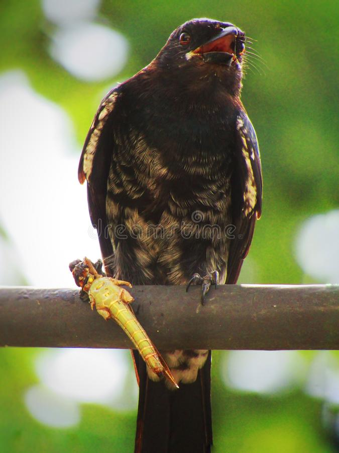 Schwarzes Drongo Dicrurus-macrocercus ist ein kleiner asiatischer passerine Vogel der Drongofamilie Dicruridae stockfotografie