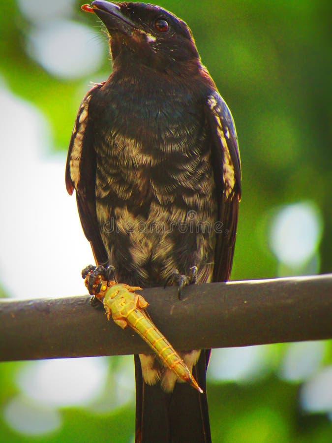 Schwarzes Drongo Dicrurus-macrocercus ist ein kleiner asiatischer passerine Vogel der Drongofamilie Dicruridae stockbilder