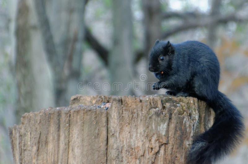 Schwarzes Eichhörnchen auf einem Baumstumpf stockbilder