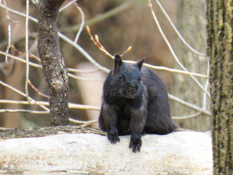 Schwarzes Eichhörnchen, das sich wundert, wenn ich Erdnüsse oder nicht habe lizenzfreies stockfoto