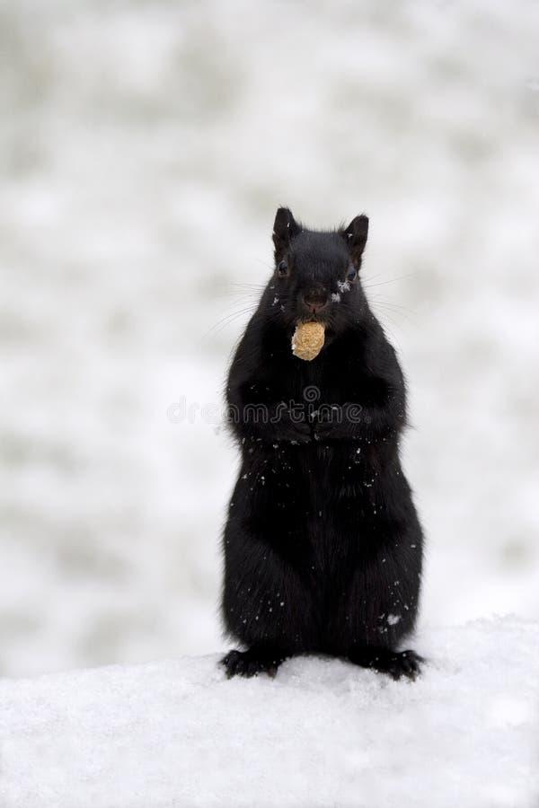 Schwarzes Eichhörnchen mit Erdnuss lizenzfreies stockbild