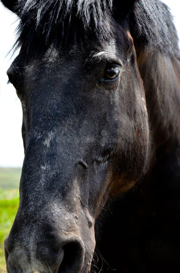 Schwarzes Entwurfs-Pferd lizenzfreie stockfotografie