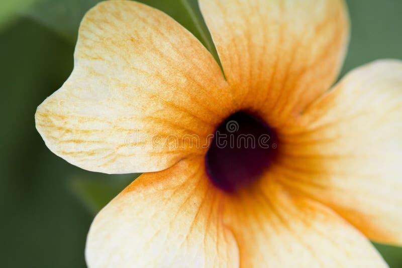 Schwarzes gemusterte Susan Vine Plant lizenzfreie stockbilder