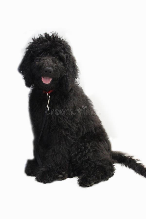 Schwarzes Goldendoodle auf einem weißen Hintergrund lizenzfreie stockbilder