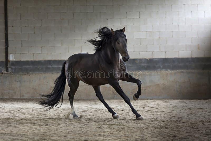 Schwarzes Hengstpferd der Betäubung, das in die Arena galoppiert lizenzfreies stockfoto