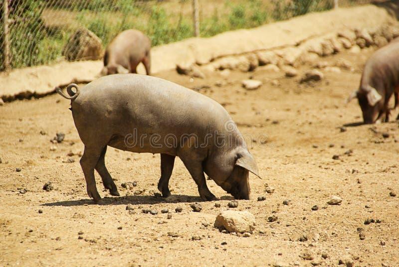 Schwarzes iberisches Schwein lizenzfreies stockbild