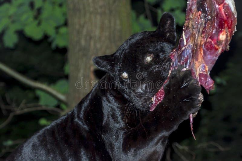 Schwarzes Jaguar-Mittagessen lizenzfreie stockbilder