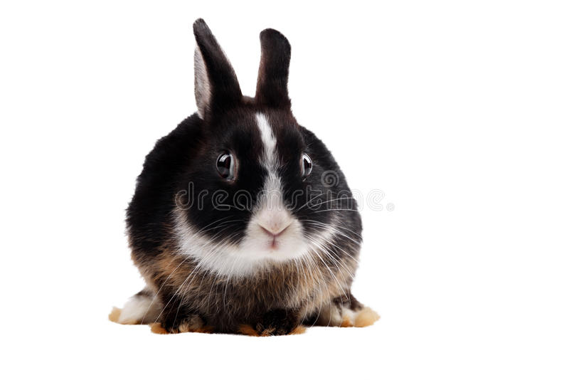 Schwarzes Kaninchen auf weißem Hintergrund lizenzfreies stockfoto