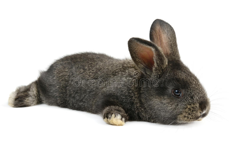 Schwarzes kleines Kaninchen stockbilder
