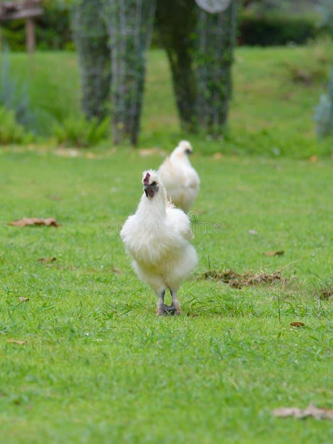Schwarzes Knochen-Huhn stockbilder