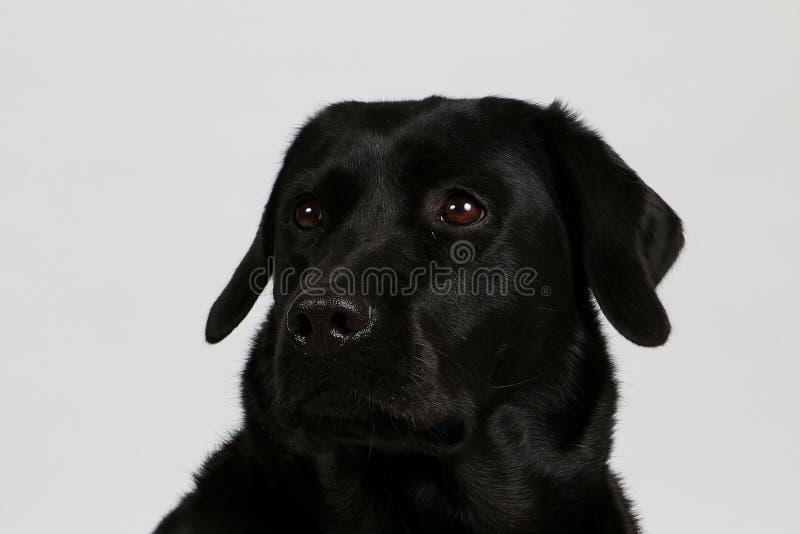Schwarzes Labrador-Kopfporträt im Studio lizenzfreies stockbild