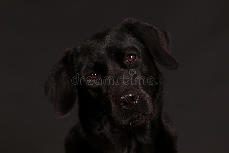 Schwarzes Labrador-Kopfporträt im Studio lizenzfreie stockbilder