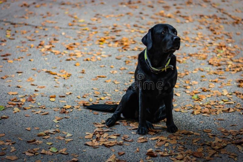 Schwarzes Labrador retriever, das aus den grauen Grund sitzt und während des Herbstes recht schaut, Hund hat grünen Kragen, orang lizenzfreies stockbild