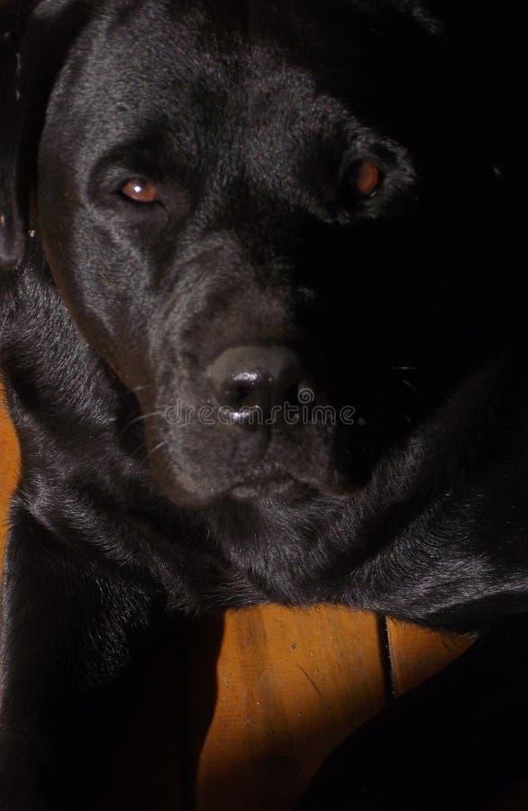 Schwarzes Labrador stellen gegenüber lizenzfreie stockbilder