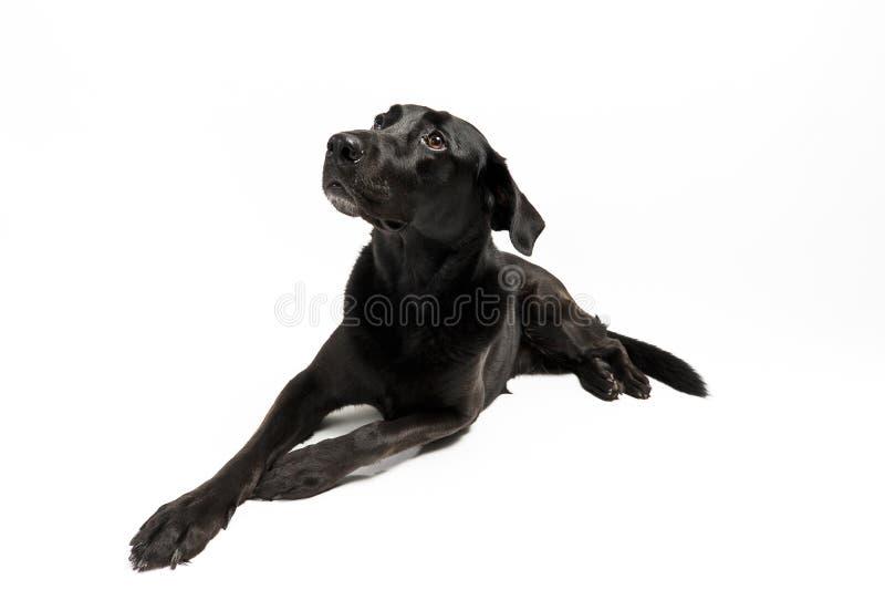 Schwarzer Hund (Labrador) Laufend über Eine Wiese