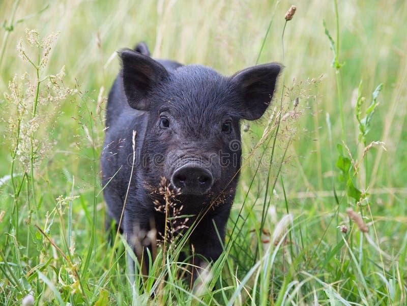 Schwarzes Minischwein im Gras stockfotografie