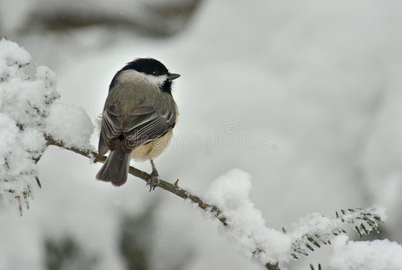 Schwarzes mit einer Kappe bedeckter Chickadee im Winter-Schnee stockbild