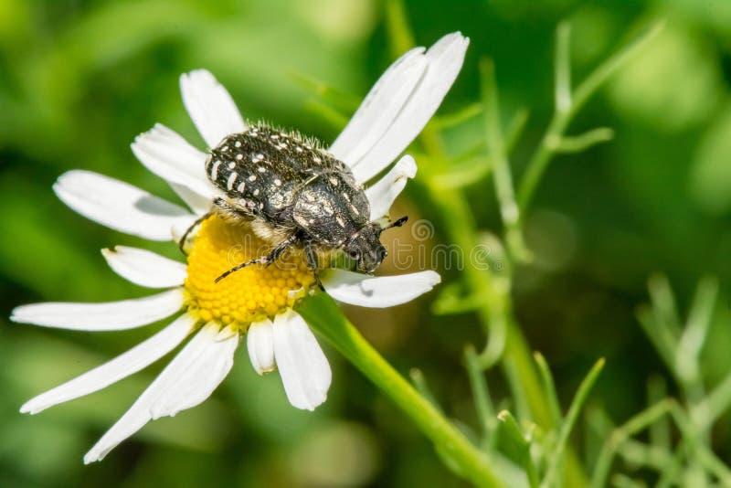Schwarzes mit Weiß beschmutzt den Käfer sitzt auf einem weißen Gänseblümchen lizenzfreies stockbild