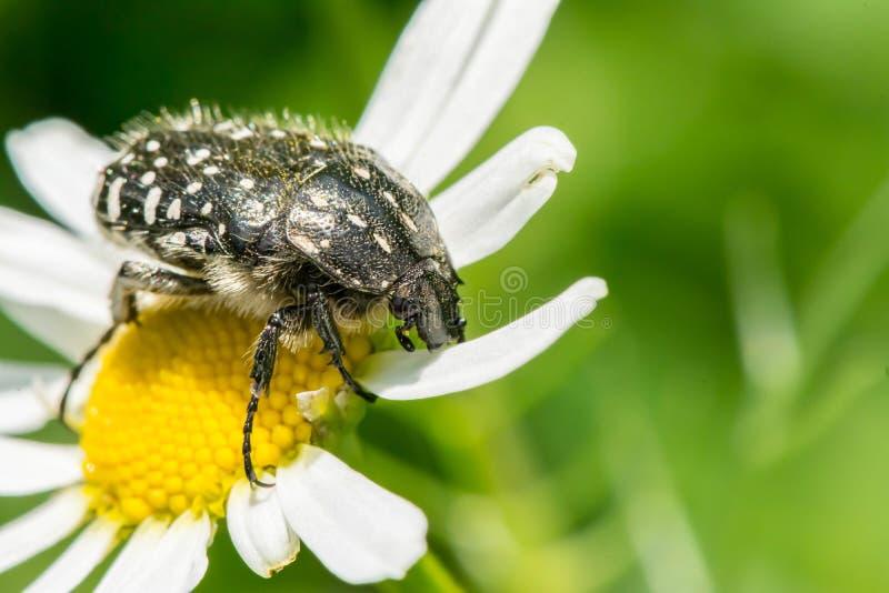 Schwarzes mit Weiß beschmutzt den Käfer sitzt auf einem weißen Gänseblümchen stockbilder