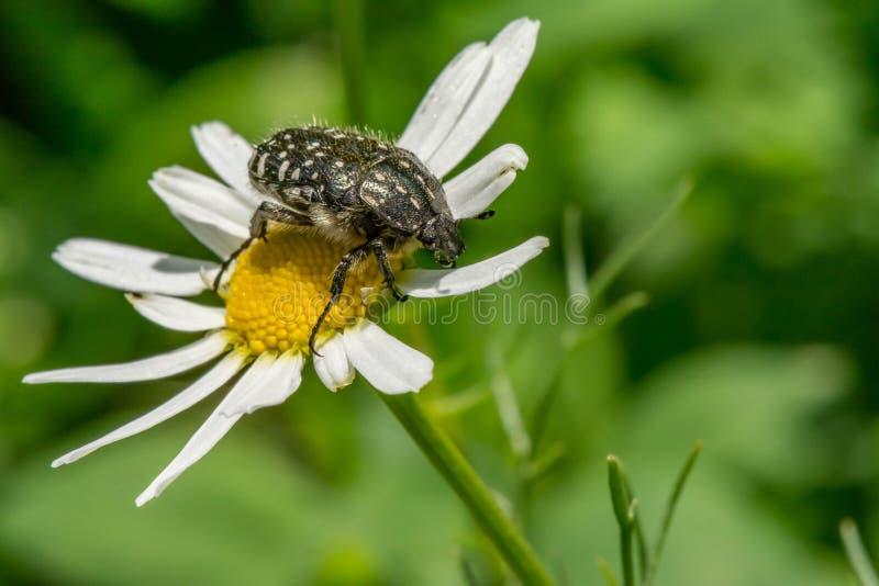 Schwarzes mit Weiß beschmutzt den Käfer sitzt auf einem weißen Gänseblümchen stockfotografie