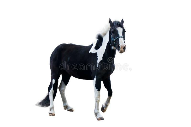 Schwarzes mit Weiß ein Pferd stockbild