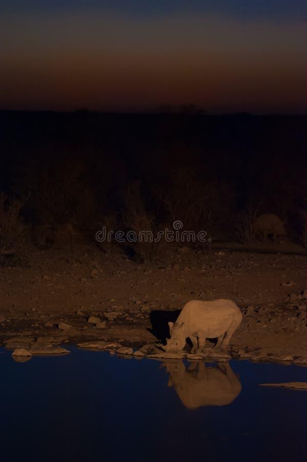 Schwarzes Nashorn an der Wasserstelle, Nationalpark Etosha, Namibia lizenzfreies stockfoto