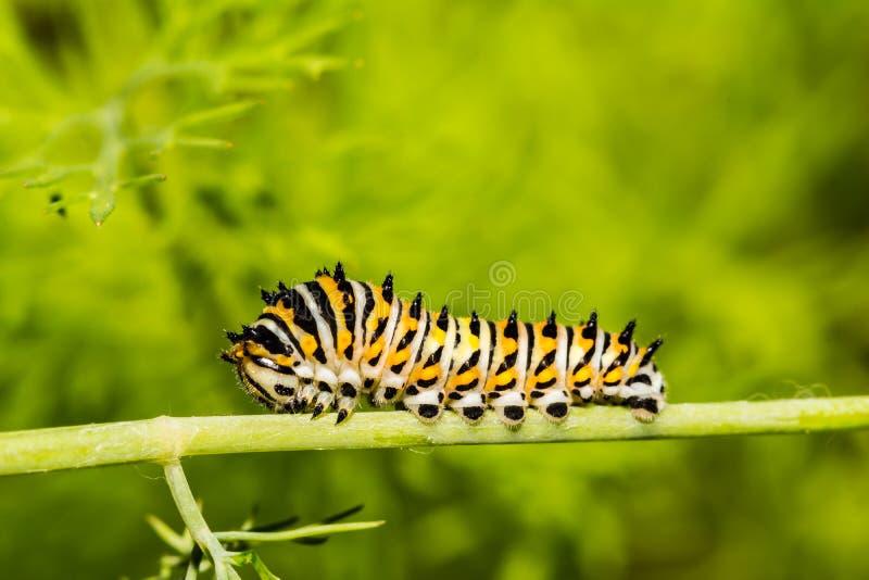 Schwarzes Ostswallowtail Caterpillar stockfotos