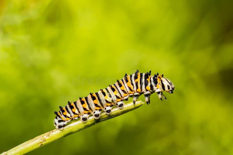 Schwarzes Ostswallowtail Caterpillar lizenzfreie stockfotos