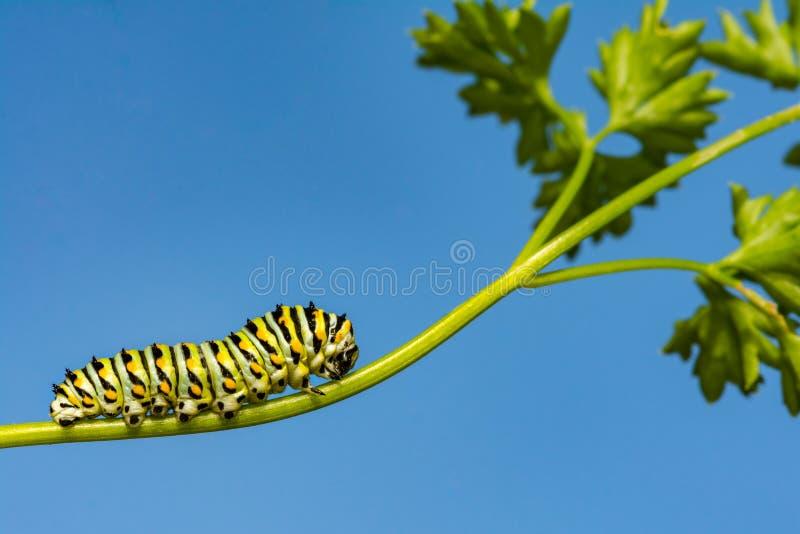 Schwarzes Ostswallowtail Caterpillar lizenzfreies stockbild