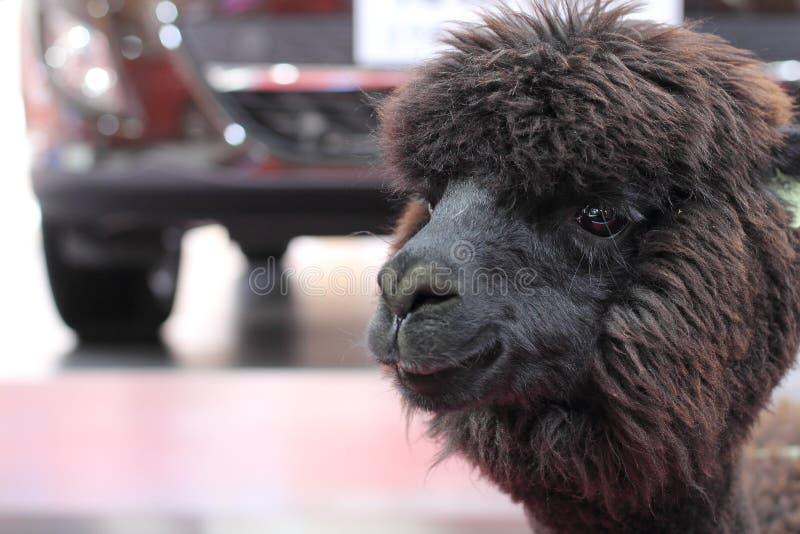 Schwarzes peruanisches Alpaka - Vicugna pacos lizenzfreie stockbilder