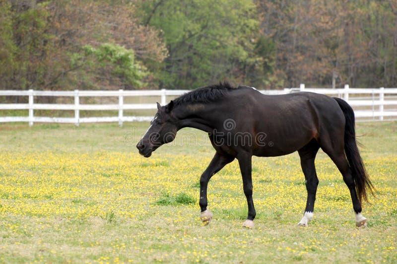 Schwarzes Pferd Kreuzworträtsel