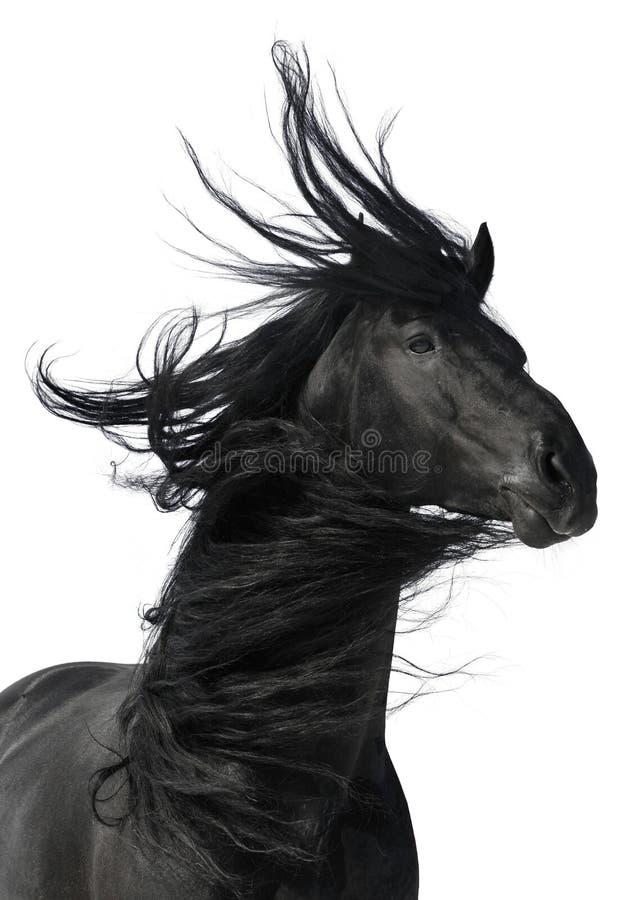 Schwarzes Pferdenportrait getrennt auf weißem Hintergrund