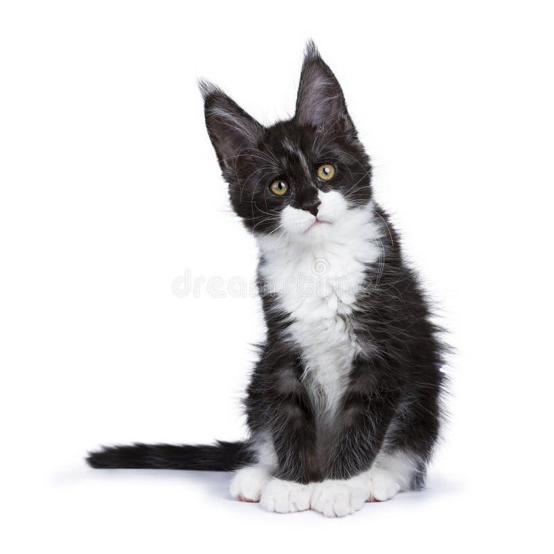Schwarzes Rauch Maine Coon-Kätzchen, das mit titeld Hauptschauen zur Seite lokalisiert auf weißem Hintergrund sitzt lizenzfreies stockfoto