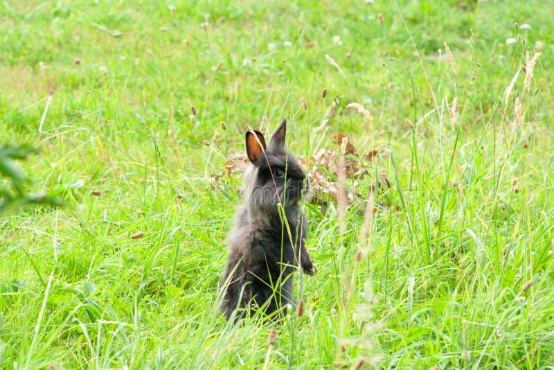 Schwarzes reinrassiges Kaninchen im Gras stockbild