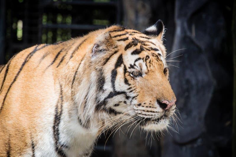 Schwarzes schönes Grundlicht des Hintergrundes A des heftigen Tigers lizenzfreie stockfotografie