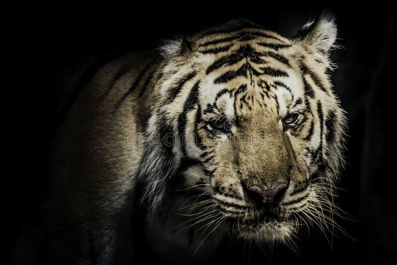 Schwarzes schönes Grundlicht des Hintergrundes A des heftigen Tigers stockfoto