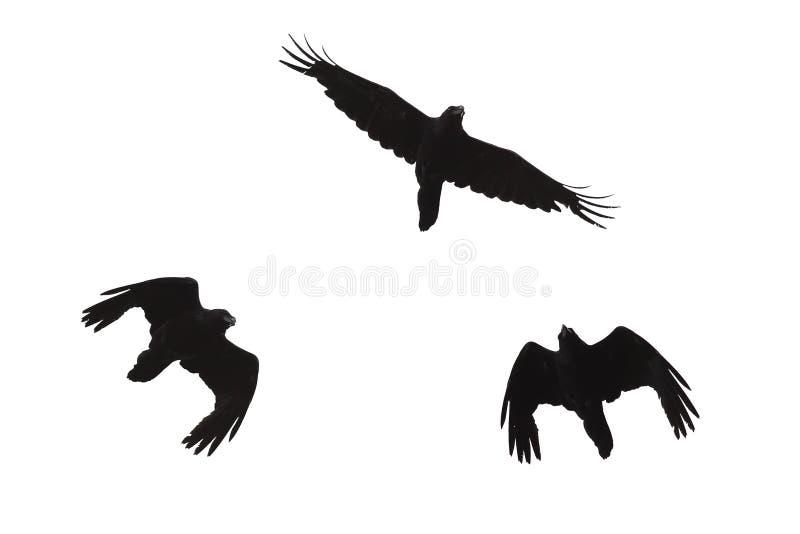 Schwarzes Schattenbild eines Raben im Flug auf einem Weiß lokalisierte Hintergrund lizenzfreies stockbild