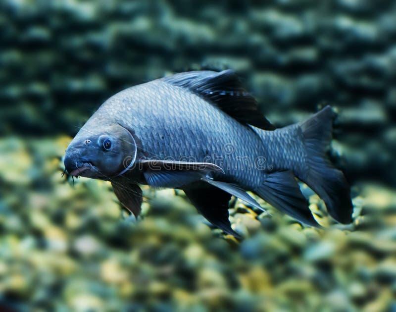 Schwarzes sharkminnow Common nennt Spezies, Frischwasserfische stockfotos